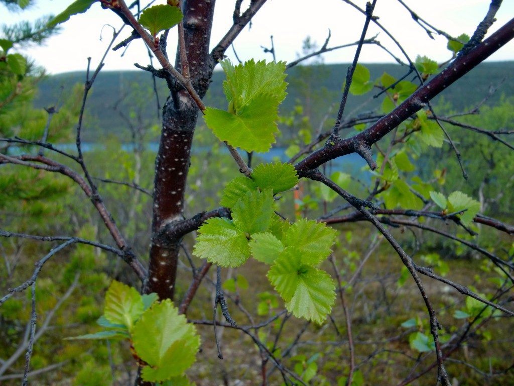 mountain birch new leaves