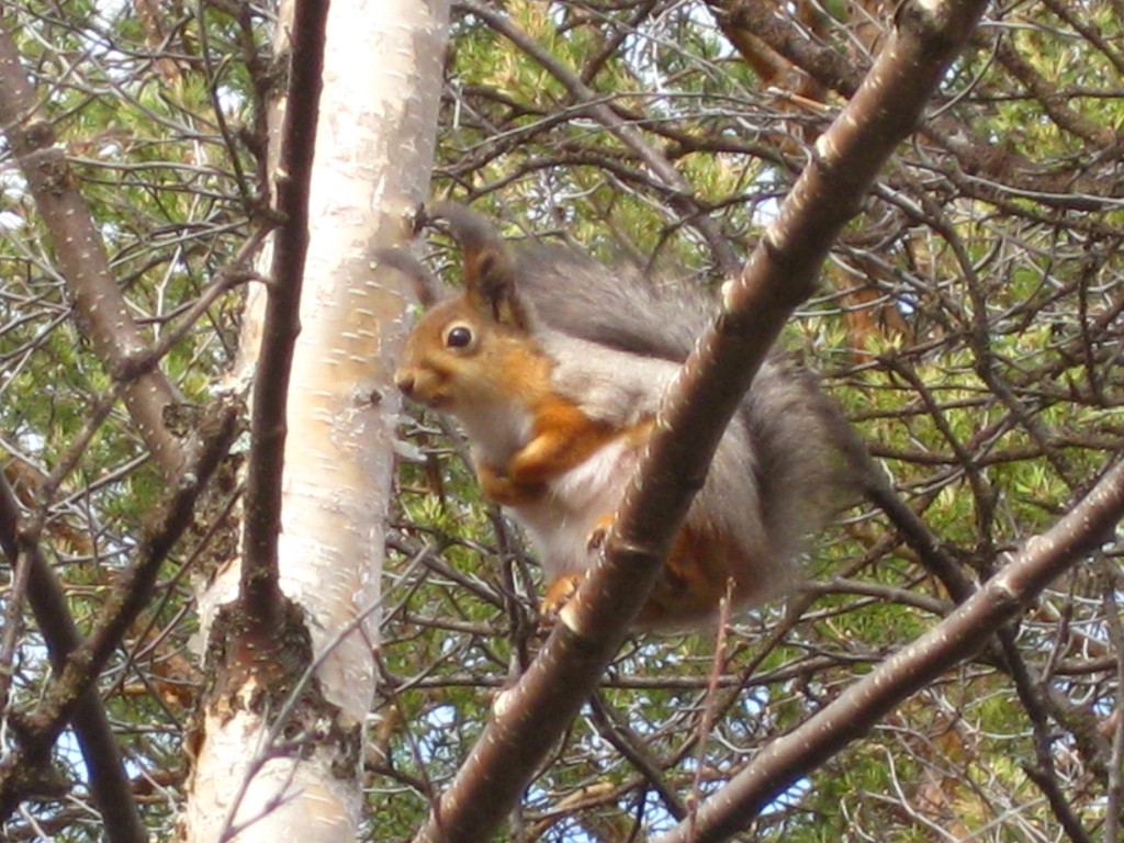 Finnish squirrel #2