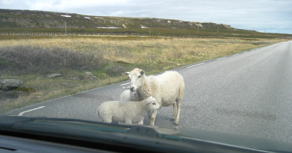Norwegian sheep in the road